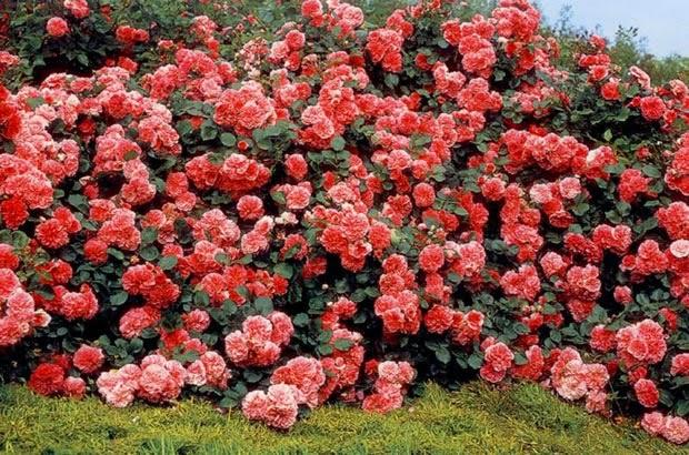 Arte y jardiner a rosales arbustivos modernos 1 parte for Jardineria rosales