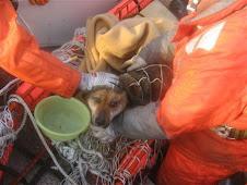 Perro japonés sobrevive tres semanas en una casa flotante