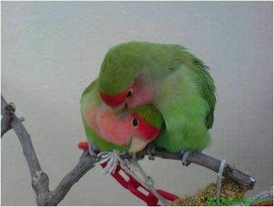 Love Birds Wallpaper For Mobile : Wallpaper s For Mobile and Pc: Love Birds Images For Mobile and Pc