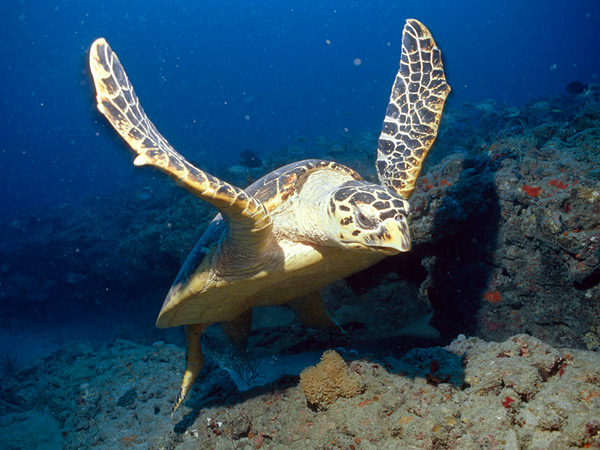 Hawksbill Sea Turtle