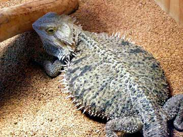 bearded dragons for sale in california