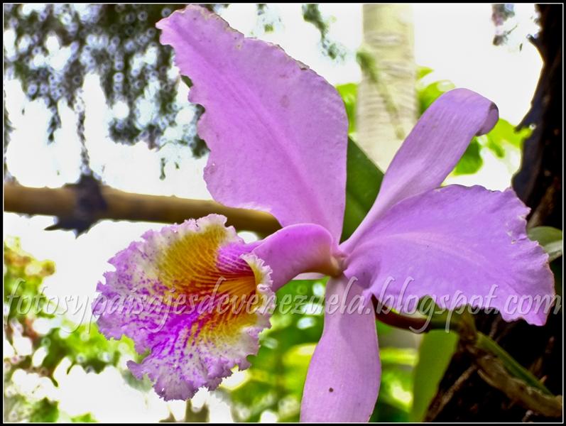 Orquideas naturales moradas for Cuidado de las orquideas moradas