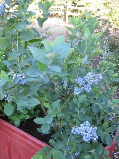 the farmer fred 174 rant growing blueberries in containers