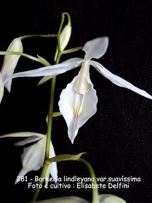 Barkeria lindleyana var.suavissima do blogdabeteorquideas