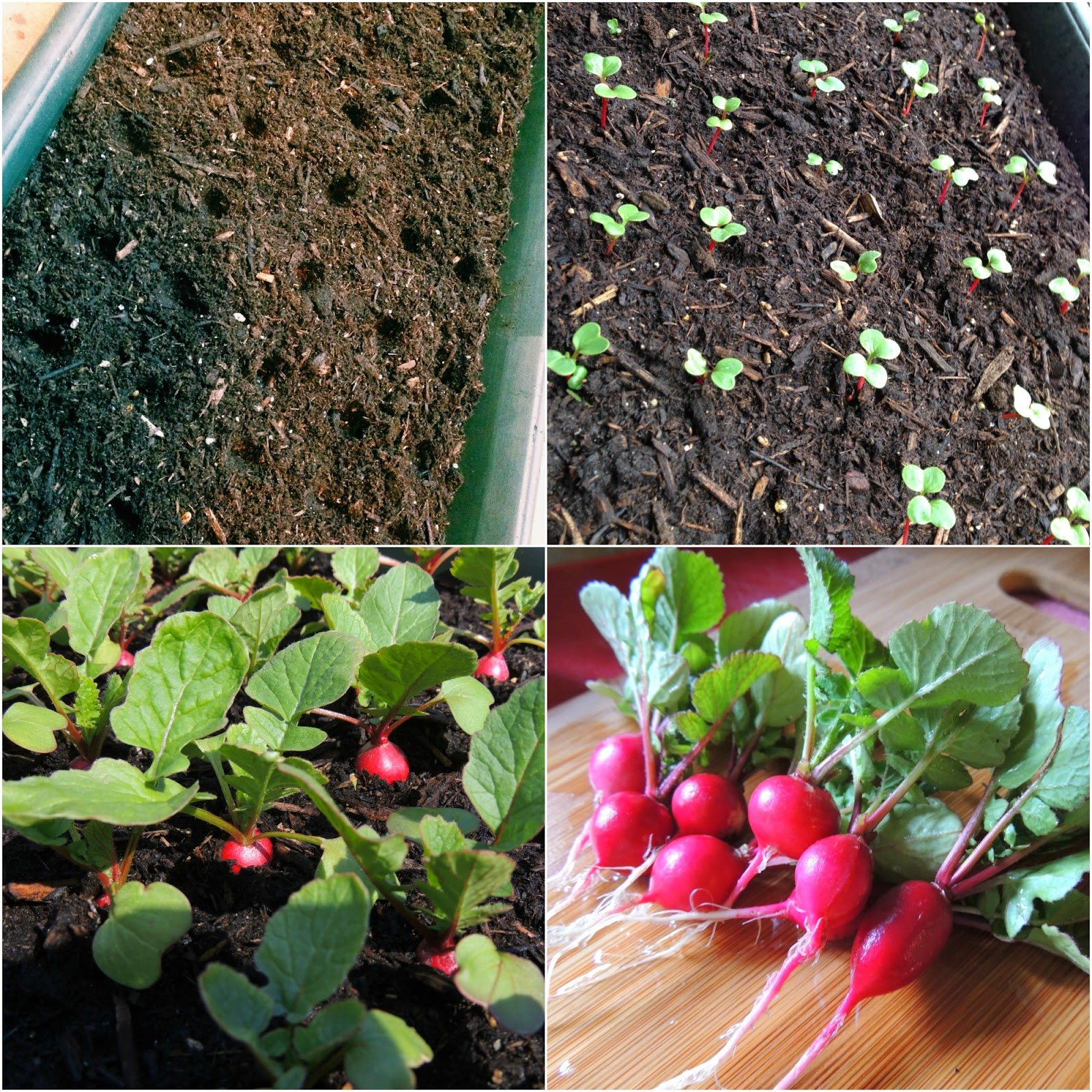Linn Acres Farm How To Grow Radishes In Containers