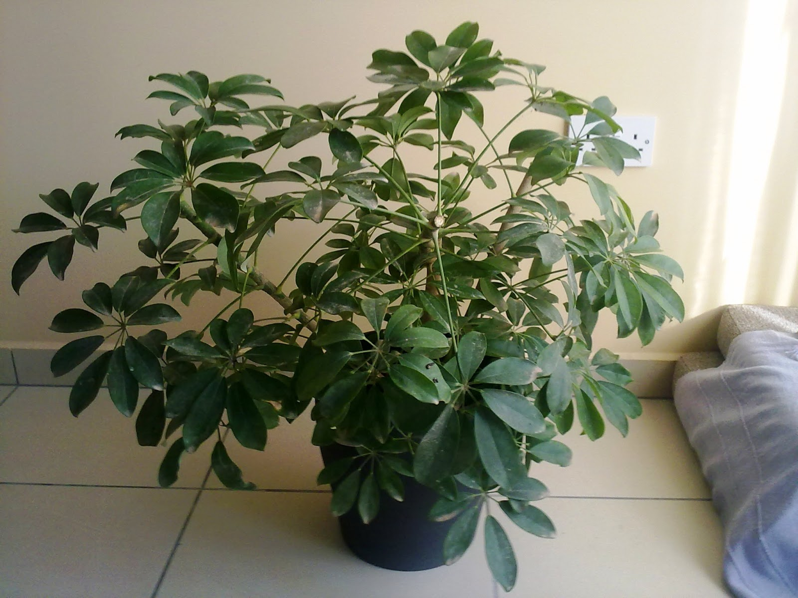 How to prune the schefflera arboricola green patches for House plant maintenance