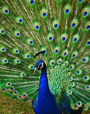 Fashionably Yours: Peacock dance...