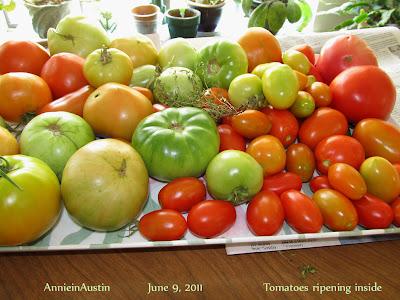 Annieinaustin tomatoes ripen indoors