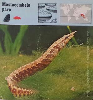 Blog Safari Club, Mastacembelo pavo, trompa de Elefante, cuerpo de Anguila y cola de Pavo Real