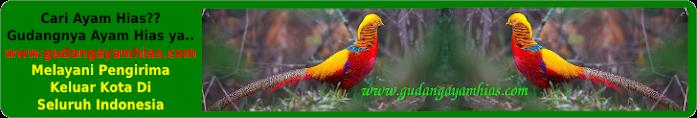 www.GudangAyamHias.com | Jual Ayam Hias | Ayam Hias Murah | Peternak Ayam Hias
