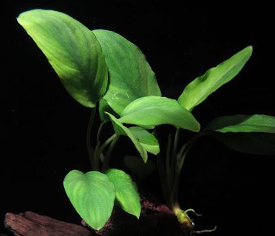 Картинки по запросу furtadoa sumatrensis в аквариуме