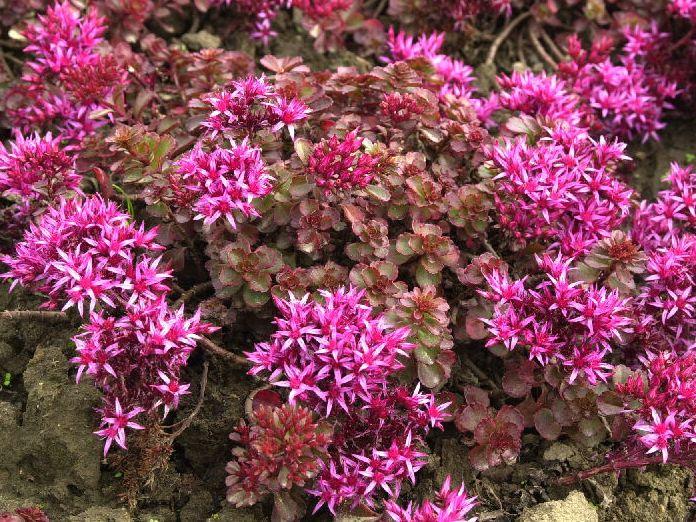 PflanzenResort Rotblättrige TeppichFetthenne (Sedum
