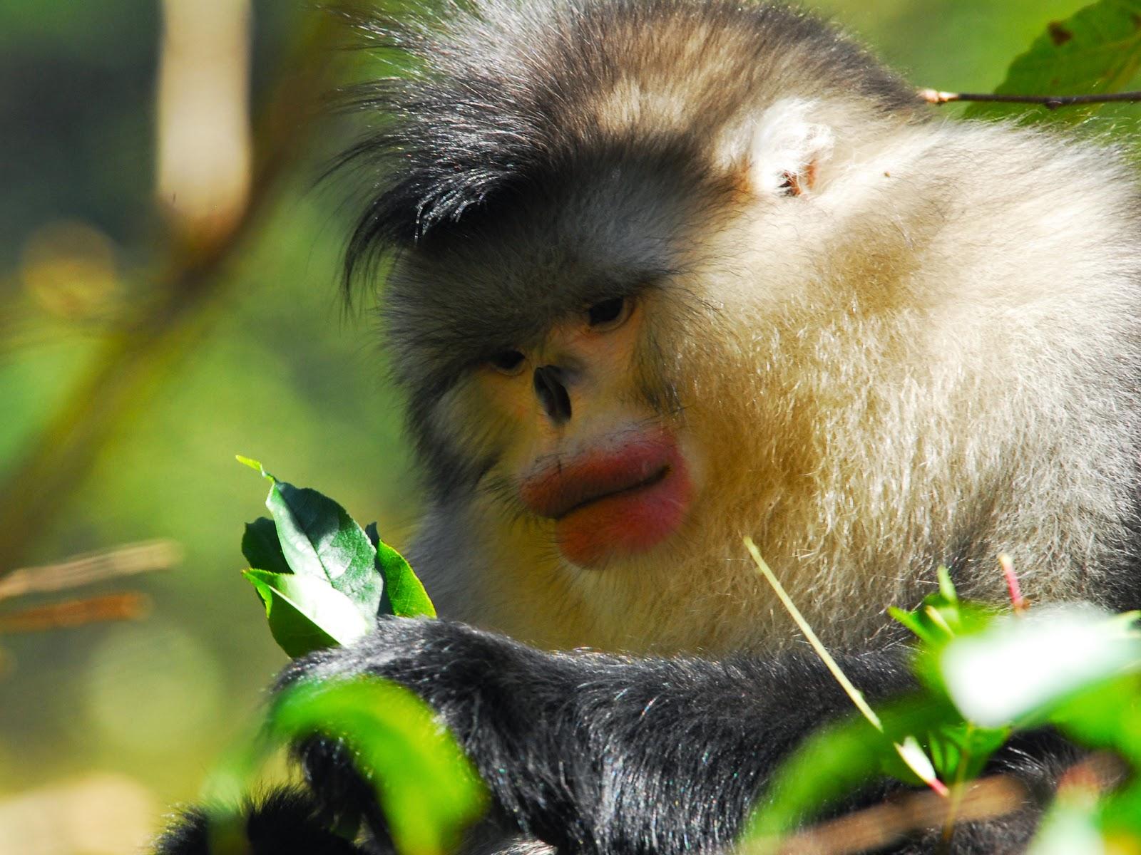 القرد ذو الانف الافطس