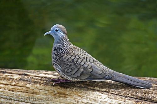 foto burung perkutut - foto hewan - foto burung perkutut