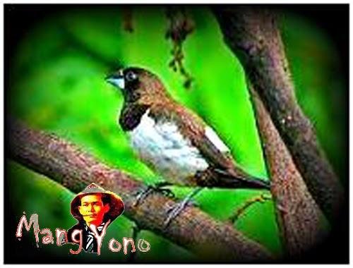 Burung pipit di halaman rumah mang yono