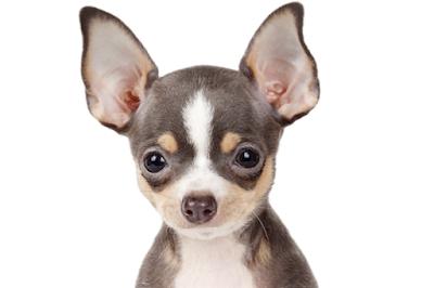 Características Perro Chihuahua