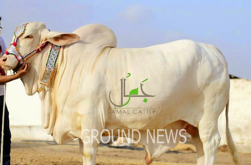 Cow Malir Mandi 2014 Karachi Sohrab Goth Cow Mandi 2014