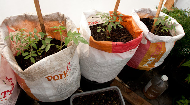 Recently transplanted San Marzano tomato plant (left bag)