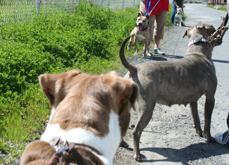 line of pit bulls in various stances along the side of a road
