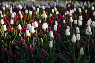 campo de tulipanes blanco