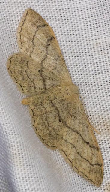 Riband Wave, Idaea aversata.  Keston Common moth trap, 2 July 2011.