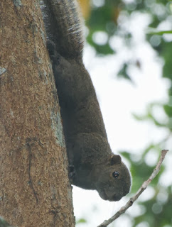 Grey-bellied Squirrel (Callosciurus caniceps concolor)