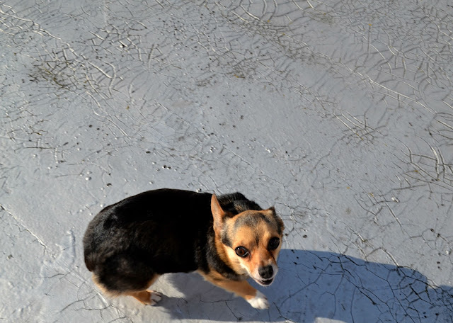 chigi, chihuahua mix, Seattle, Fleur d'Elise, dog