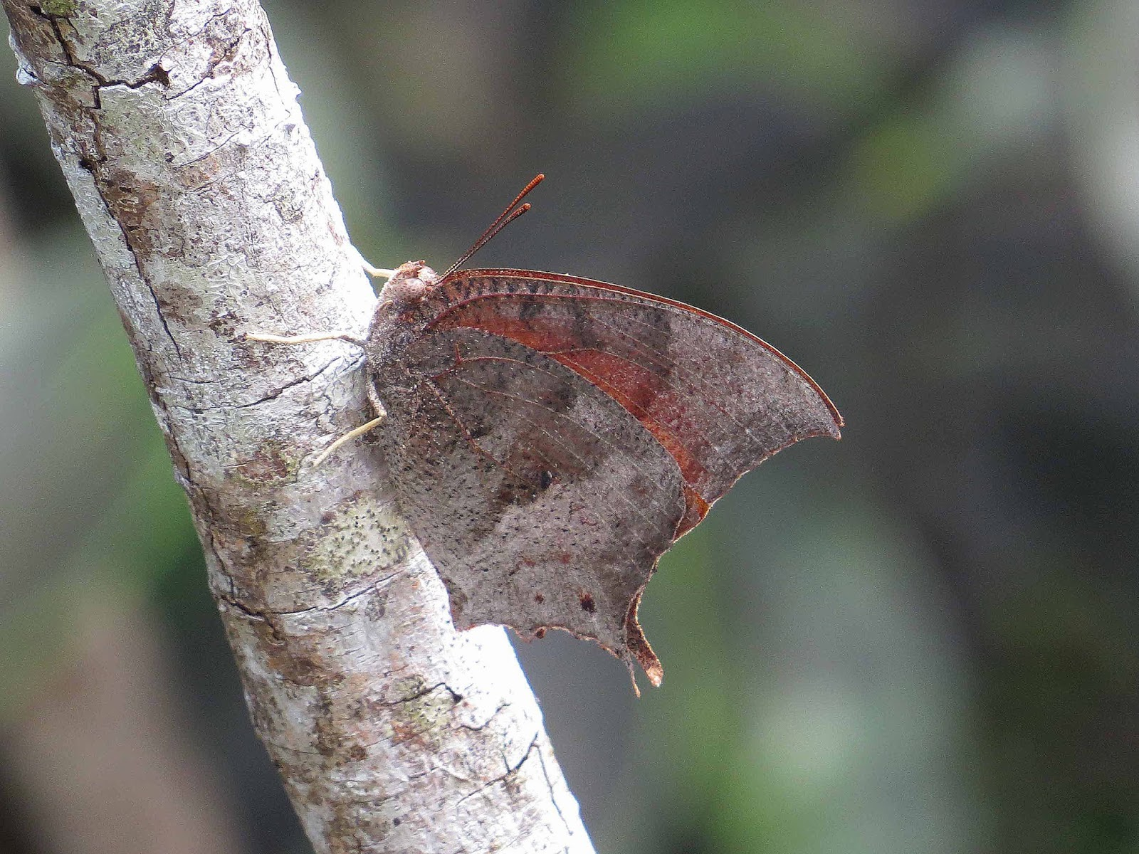 This Is One Of The Rarest Butterflies In North America; Suitable Habitat  For It Is Limited To Just ...