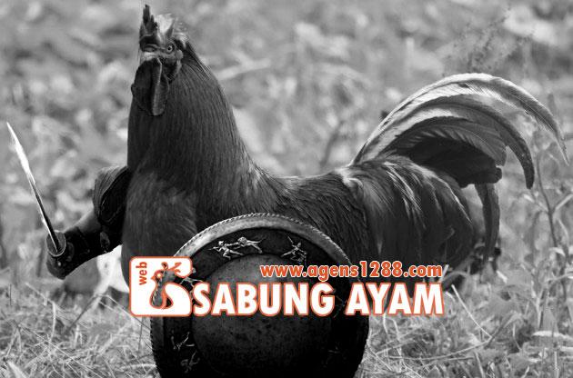 Derby Sabung Ayam Betet Bali 05 Nov 2015