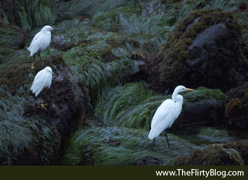 Snowy Egrets, Great White Heron