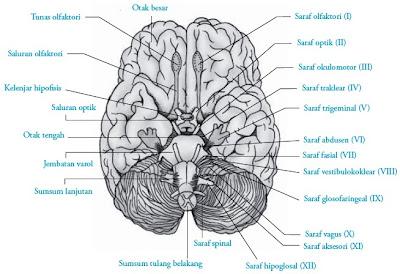 Saraf kranial pada otak