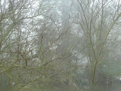 Plum tree buds misty morning 15 Mar 2012