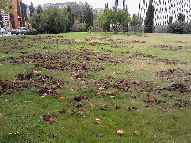Terreno hozado por jabalíes en Barcelona