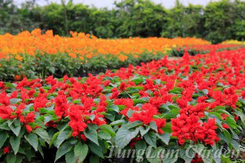 hoa thảm, hoa ngoại thất sân vườn