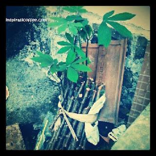 tongkat dilempar jadi tanaman