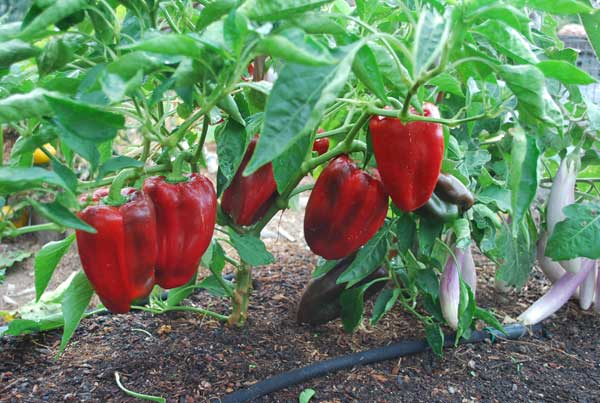 Calso cooks from the sustainable larder sowing and growing - Planting pepper garden ...