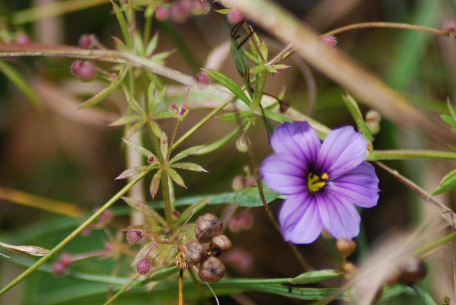 Native Medicinal Plants Part - 42: California Native Plants