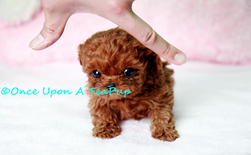 Red Teacup Poodle Puppy What you like about the poodle