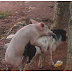 Photo of pig trying to have sex with a goat