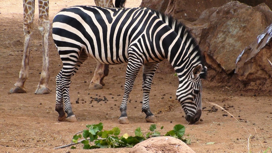 Zebra HD Wallpaper 8