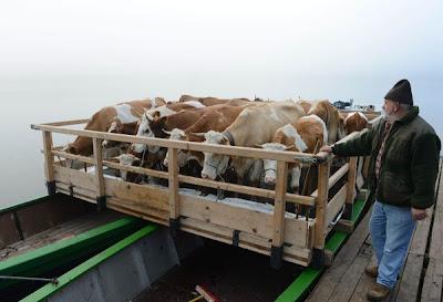 lembu ternakan