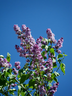 Lilac branch in full bloom - liliac inflorit