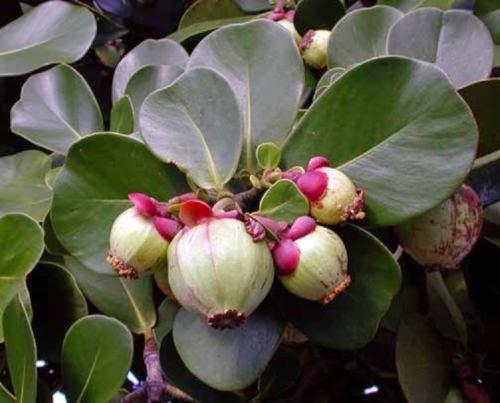 """キューバ産の """"褐色プロポリス"""" の起源植物:  <br>「福木」の一種 (クルシア・ロセア)"""