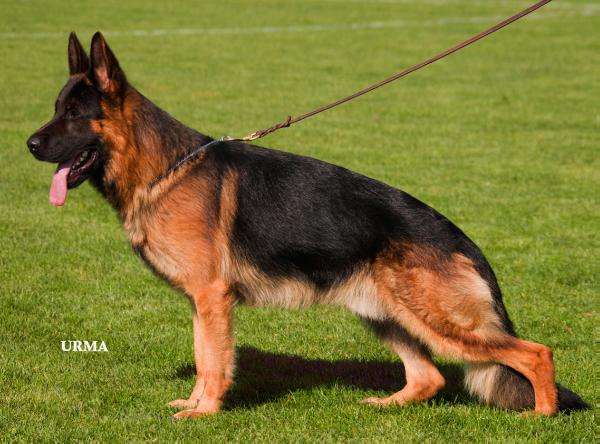 dogs bite force german shepherds galaxy