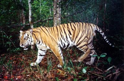 Lain lagi di tanah Sumatera Barat dan Jambi. Sesosok Harimau disebut