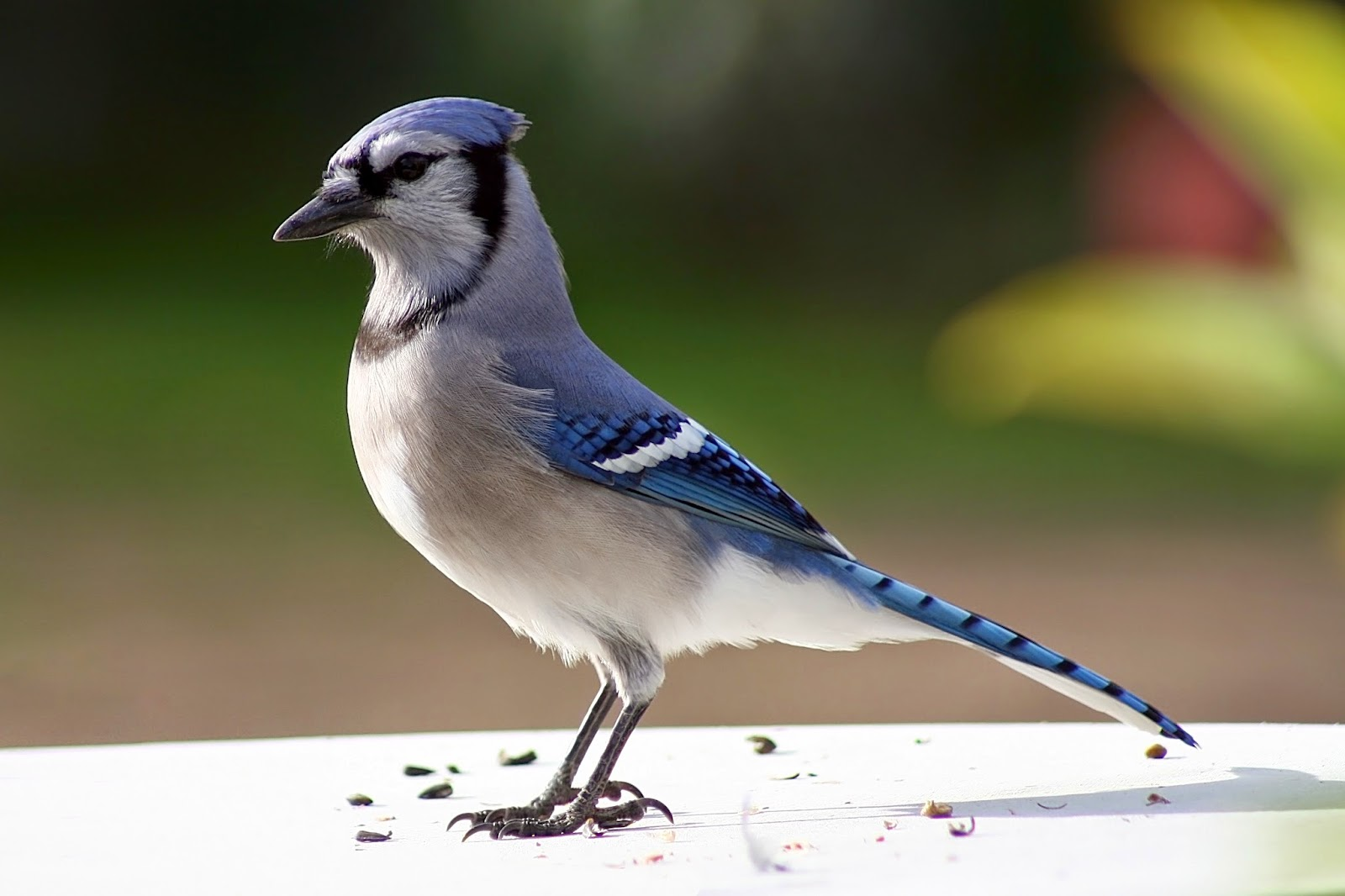 Photos of blue jays birds Beautiful