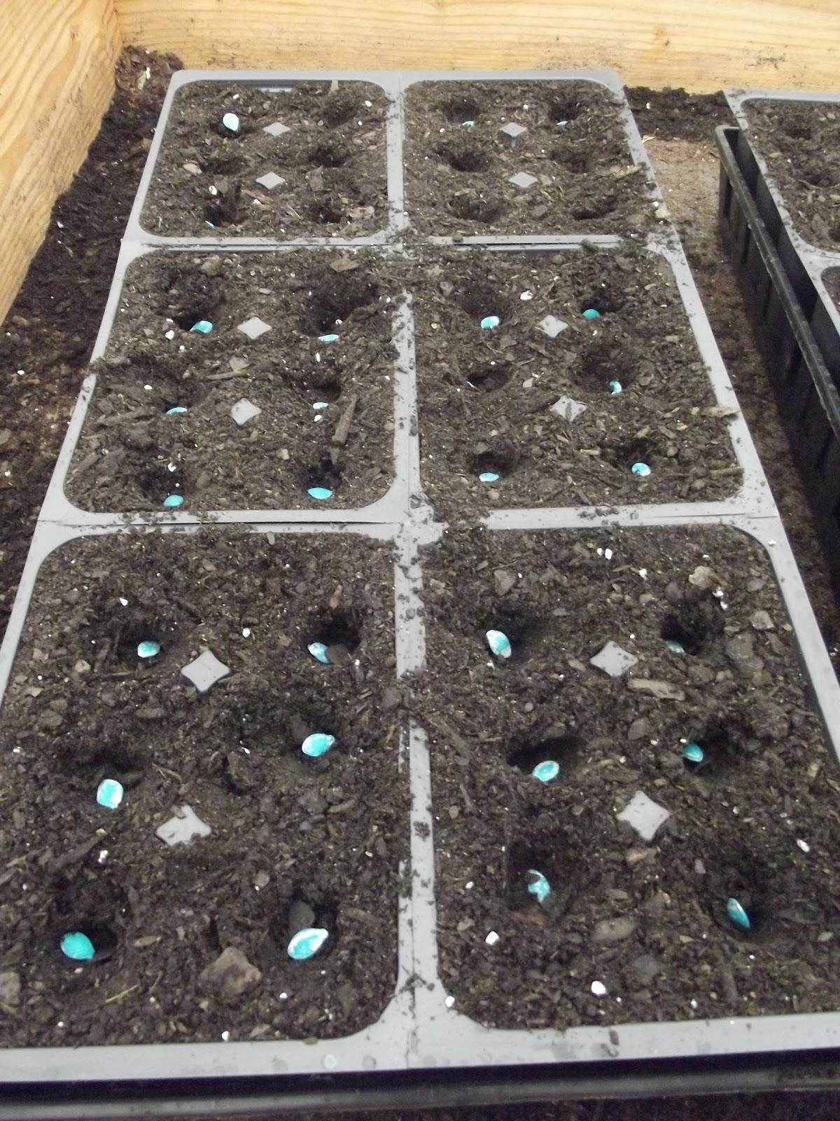 planting squash seeds