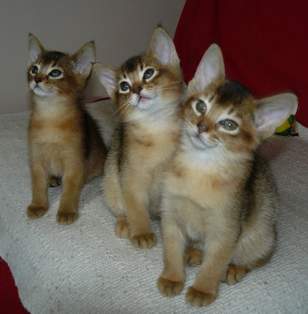 Litter size of Abyssinian Cats