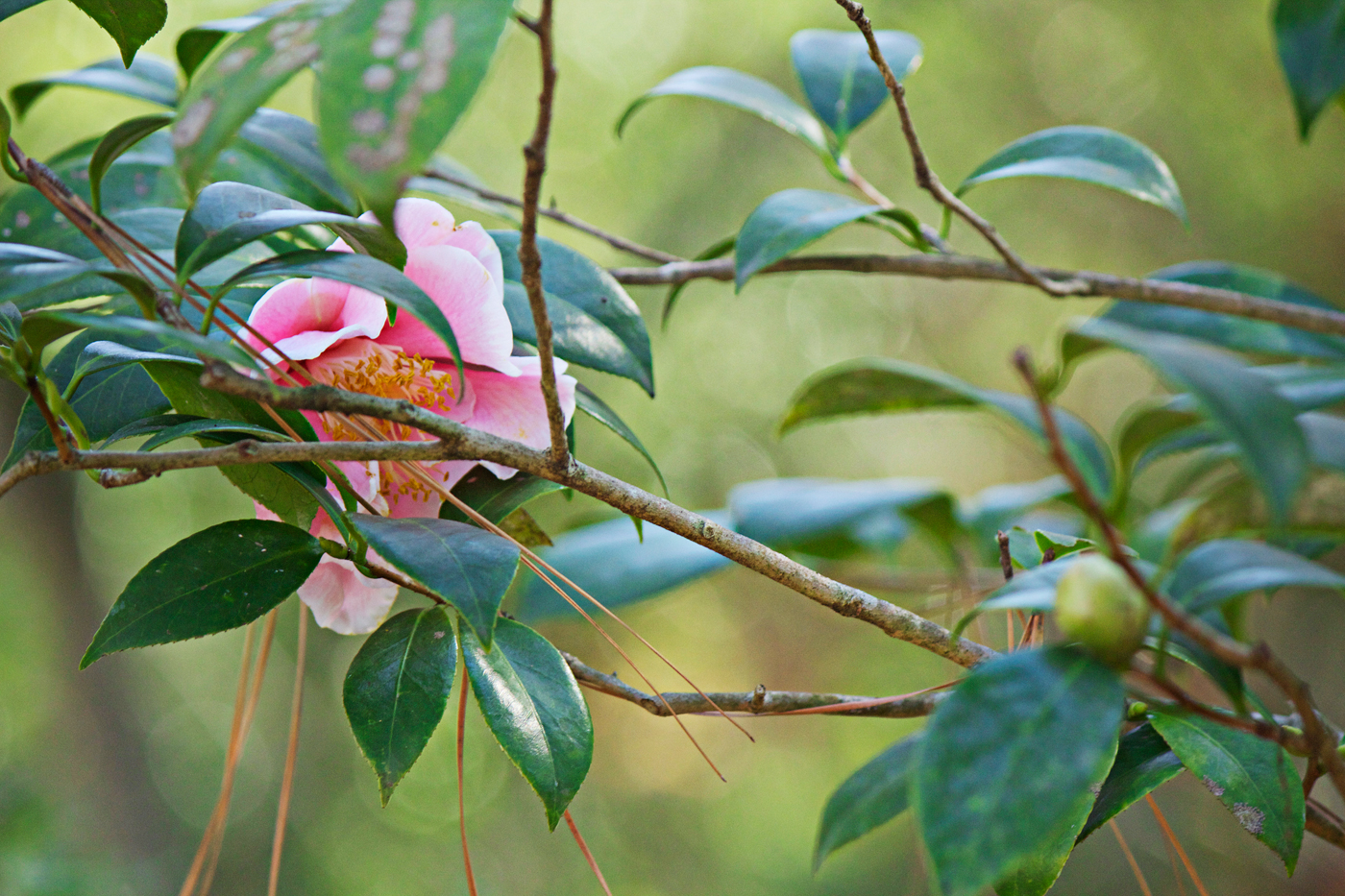 pink camellia with foliage - photo copyright Allison Beth Cooling