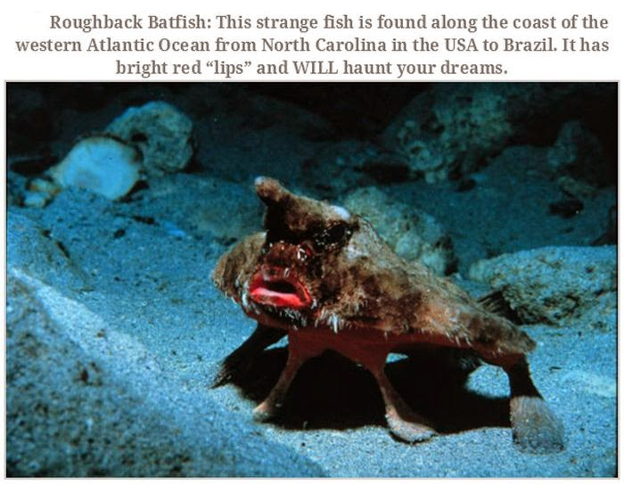 Weird animals (20 pics), strange animal pictures, roughback batfish
